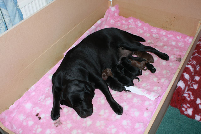 Megan & pups - Copyright LIGHTBRINGER LABRADORS 2010©