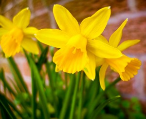 Dwarf Narcissus