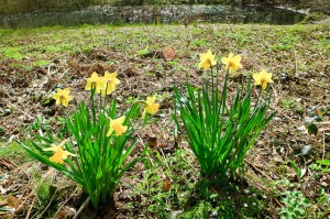 Daffodils in Whitwell Woods