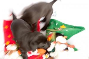 Puppy Christmas mayhem!