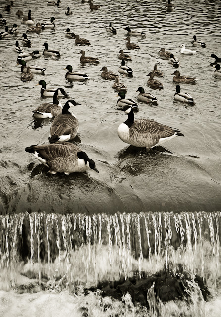 Geese and ducks on the wier at Bakewell